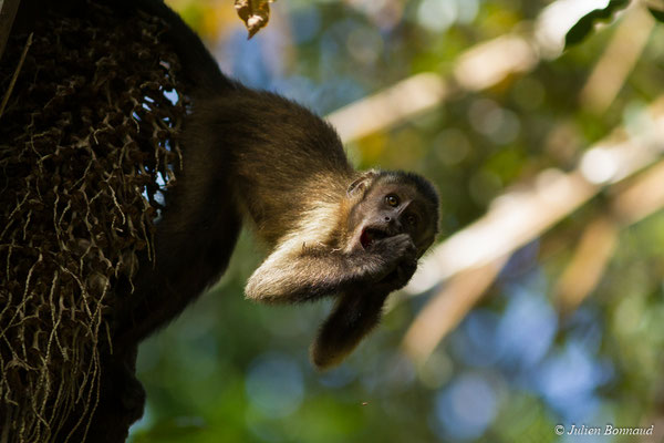 Capucin brun (Cebus appela) (adulte) (Montsinéry, le 02/09/2017)