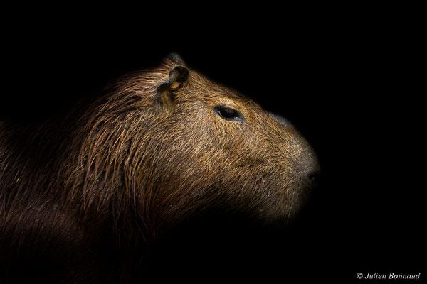 Cabiaï ou Capybara (Hydrochoerus hydrochaeris)