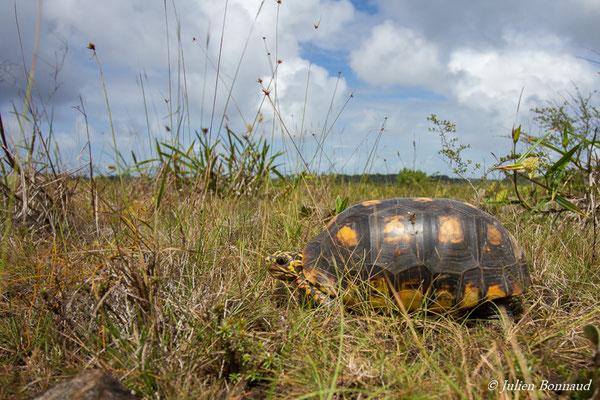Tortue charbonnière (Chelonoidis carbonaria) (mâle adulte) (Centre Spatial Guyanais, Kourou, le 17/02/2017)