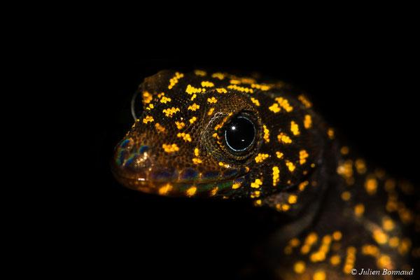 Gonatode aux yeux bleus (Gonatodes annularis)