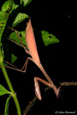 Oxyopsis rubicunda (femelle) (forme brune) (Sentier du Rorota, Remire-Montjoly, le 13/07/2015)