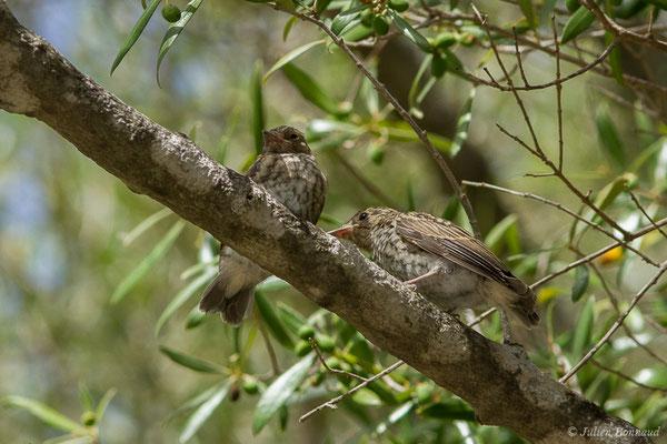 Gobemouche gris (Muscicapa striata) (juvéniles) (Tarifa (Andalousie), le 02/08/2020)