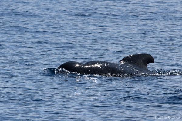 Globicéphale noir – Globicephala melas (Traill, 1809), (Détroit de Gibraltar, Tarifa, Andalousie (Espagne), le 04/08/2020)
