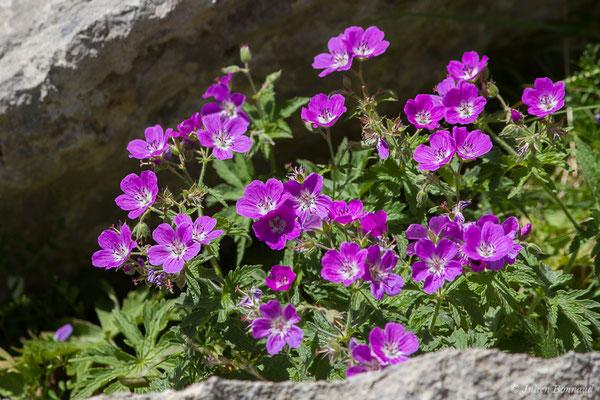Géranium sanguin (Geranium sanguineum) (Col du Pourtalet, Laruns (64), France, le 07/07/2019)