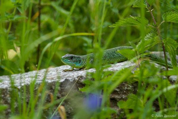 Lézard à deux bandes ou Lézard vert occidental (Lacerta bilineata) (Etsaut (64), France, le 11/07/2018)