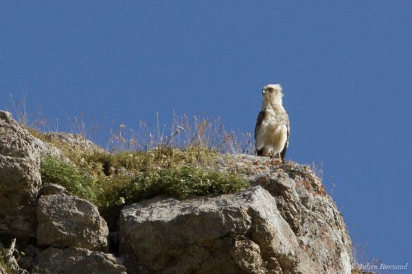 Circaète Jean-le-Blanc (Circaetus gallicus) (juvénile) (Pic du Midi d'Ossau, Laruns (64), France, le 04/08/2018)