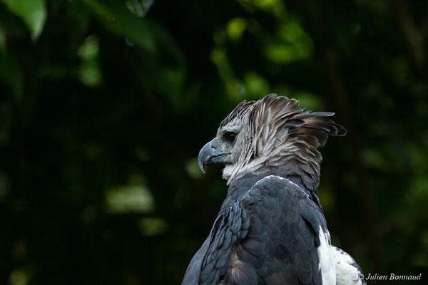 Harpie féroce (Harpia harpyja) (Zoo de Guyane, Montsinéry, le 22/04/2017)