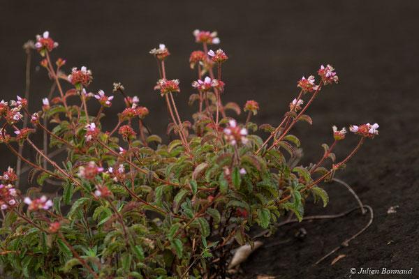 Ernestia confertiflora (Savane-roche Virigie, Régina, le 16/07/2017)