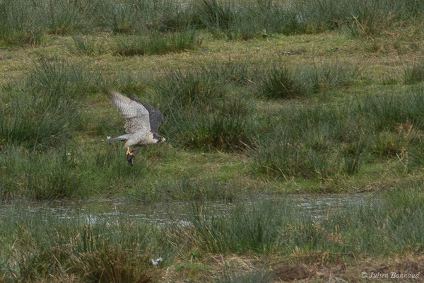 Faucon pèlerin (Falco peregrinus) (réserve des barthes de Saint-Martin-de-Seignanx (64), France, le 19/01/2019)