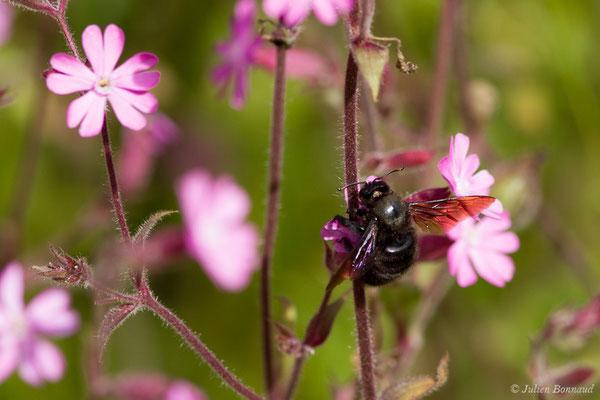 Xylocope violet (Xylocopa violacea) (Cauteret (65), France, le 08/06/2018)