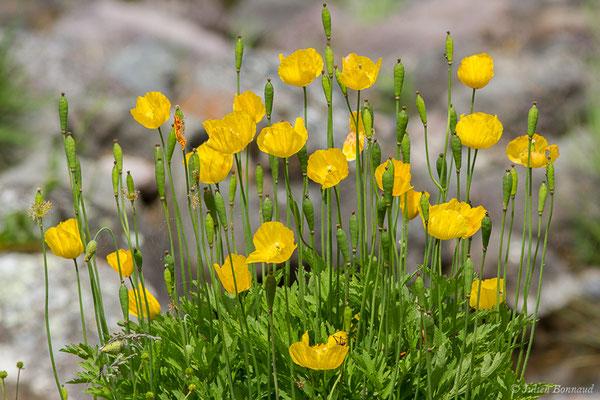 Pavot du Pays de Galles – Papaver cambricum L., 1753, (lac d'Ayous, Laruns (64), France, le 13/07/2019)