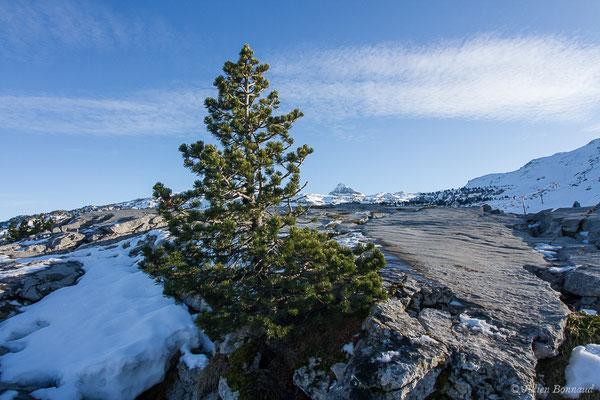 Pin à crochets (Pinus mugo subsp. uncinata) (La Pierre Saint Martin (64), France, le 07/12/2019)
