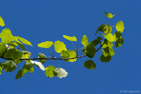 Peuplier Tremble (Populus tremula) (Etsaut (64), France, le 06/05/2019)
