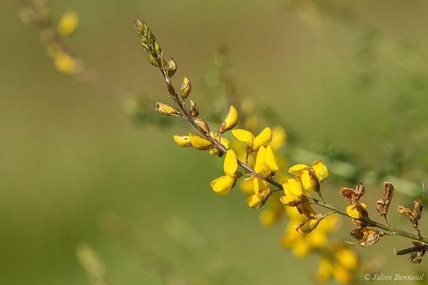 Adénocarpe plié ou Adénocarpe changé (Adenocarpus complicatus) (Laglorieuse (40), France, le 26/05/2020)