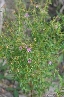 Acisanthera uniflora (Centre Spatial Guyanais, Kourou, le 12/05/2014)
