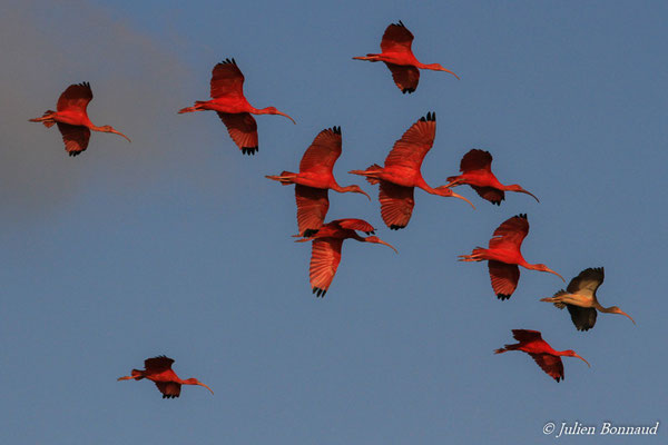 Ibis rouge (Eudocimus ruber) (adultes) (Pont du Larivot, Matoury, le 09/01/2015)