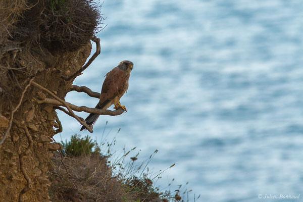 Faucon crécerelle – Falco tinnunculus Linnaeus, 1758, (Ajaccio (2A), France, le 01/09/2019)