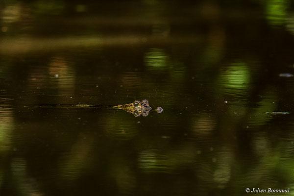 Caïman à lunette (Caiman crocodilus) (sub-adulte) (mine d'or Espérance, Apatou, le 12/05/2017)