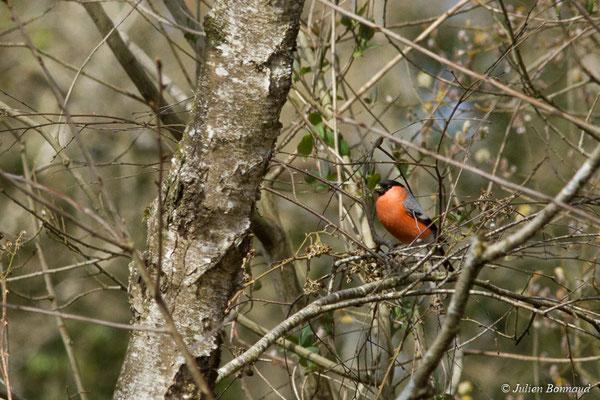 Bouvreuil pivoine (Pyrrhula pyrrhula) (mâle adulte) (Ponson-Dessus (64), France, le 17/03/2018)