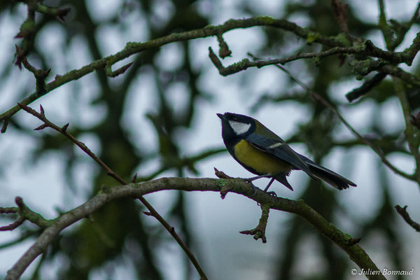 Mésange charbonnière (Parus major) (adulte) (Pontivy (56), France, le 01/01/2018)