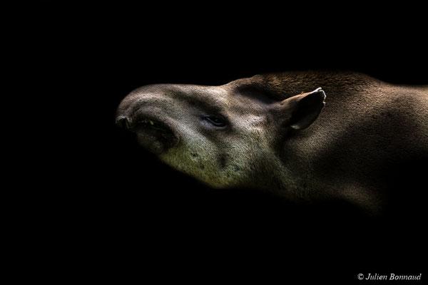 Tapir commun (Tapirus terrestris)