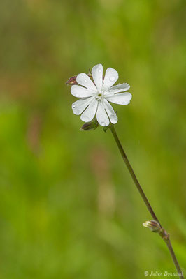 Compagnon blanc (Silene latifolia) (La Brède (33), France, le 11/06/2019)