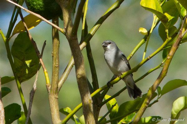 Sporophile gris-de-plomb (Sporophila plumbea) (mâle, adulte) (Guatémala, le 04/12/2016