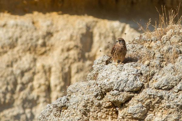 Faucon crécerelle (Falco tinnunculus) (Lagos (Faro), (Algarve), Portugal, le 29/08/2018)