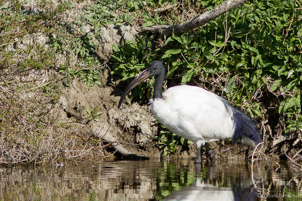 Ibis sacré (Threskiornis aethiopicus) (Parc ornithologique de Pont de Gau (13), France, le 20/02/2020)