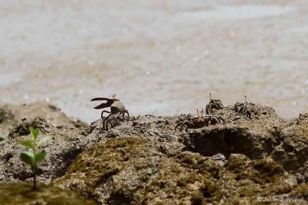Crabe violoniste (Uca pugilator) (Dégrad des Cannes, Remire-Montjoly, le 29/03/2017)
