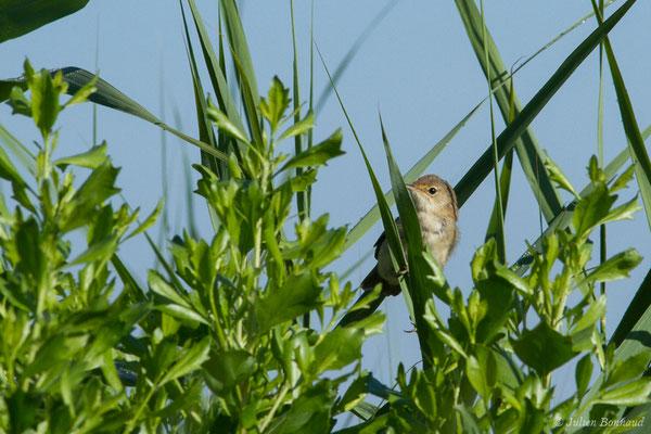 Rousserolle effarvatte (Acrocephalus scirpaceus) (Braud-et-Saint-Louis (33), France, le 21/06/2018)