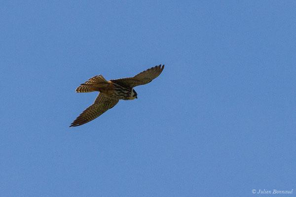 Faucon hobereau – Falco subbuteo Linnaeus, 1758, (Bidart (64), France, le 22/05/2019)