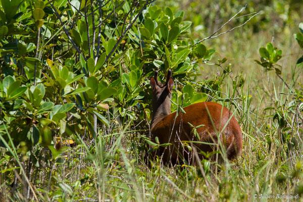 Daguet rouge (Mazama americana) (mâle) (Centre Spatial Guyanais, Kourou, le 31/07/2017)