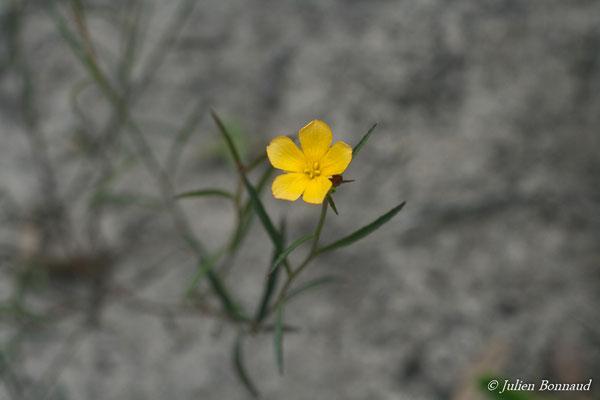 Turnera guianensis (Centre Spatial Guyanais, Kourou, le 12/05/2014)