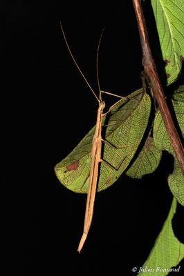 (Agrostia cinerea) (Agrostia cinerea) (femelle adulte) (Crique Patate, Montsinéry le 18/07/2015)
