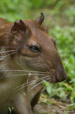 Pac (Cuniculus paca) (Zoo de Guyane, Montsinéry, le 14/08/2016)