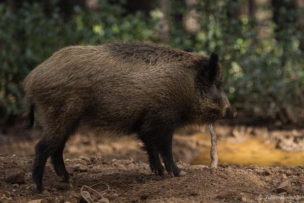 Sanglier – Sus scrofa Linnaeus, 1758, (Parc faunistique Lacuniacha, Huesca, Espagne, le 09/02/2020)