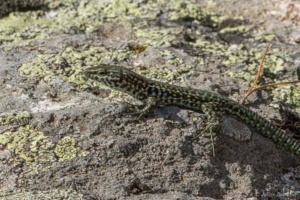 Lézard tyrrhénien (Podarcis tiliguerta) (Plateau du Coscione, Aullène (2A), France, le 07/09/2019)