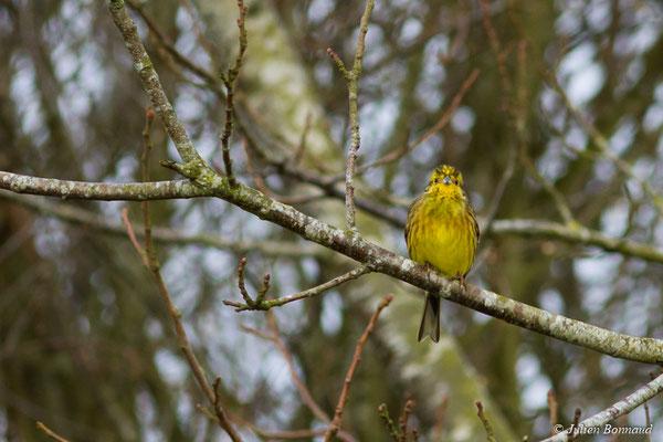 Bruant jaune (Emberiza citrinella) (Malguénac (56), France, le 20/02/2017)