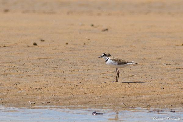 Pluvier d'Azara (Charadrius collaris) (adulte, plumage internuptial) (Route des plages, Remire-Montjoly, le 29/03/2017)