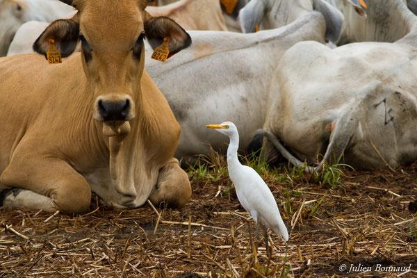 Héron garde-boeufs (Bubulcus ibis) (adulte) (route de Guatémala, le 10/12/2016)