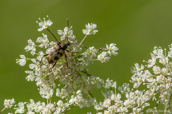 Lepture trapue (Pachytodes cerambyciformis) (Sers (65), le 20/06/2020)