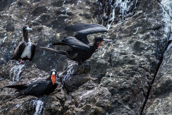 Frégate superbe (Fregata magnificens) (1 femelle adulte et 2 mâles adultes) (Île du Grand Connétable, le 09/08/2017)