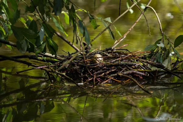 Gallinule poule-d'eau – Gallinula chloropus (Linnaeus, 1758), (nid et œuf) (Braud-et-Saint-Louis (33), France, le 04/07/2018)