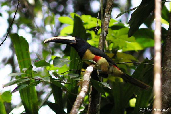Araçari grigri (Pteroglossus aracari) (adulte) (Crique Gervais, le 17-03-2016)