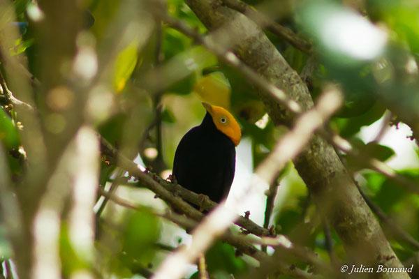 Manakin à tête d'or (Dixiphia erythrocephala) (mâle adulte) (Iracoubo, le 12-07-2016)