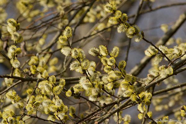 Saule marsault ou Saule des chèvres (Salix caprea) (chatons mâles) (gave de Pau, Agos-Vidalos (65), France, le 26/02/2018)