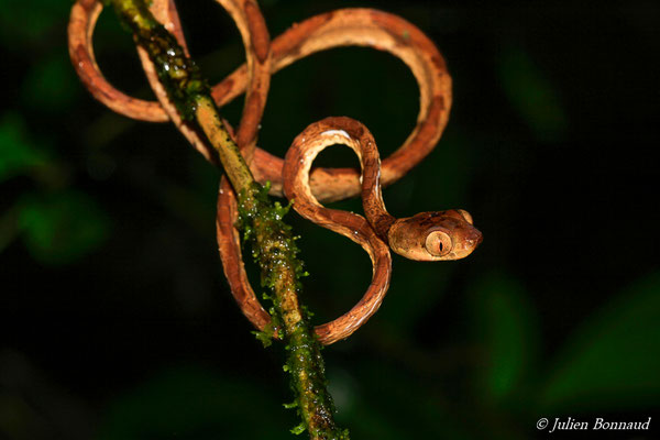 Imantode rouquin (Imantodes lentiferus) (adulte) (Kaw, le 12/12/2014)