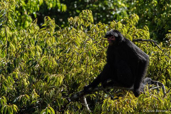 Atèle noir ou Singe-araignée (Ateles paniscus) (adulte) (Zoo de Guyane, Montsinéry, le 24/07/2017)