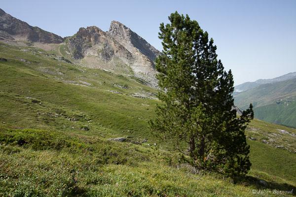 Pin à crochets – Pinus mugo subsp. uncinata (Ramond ex DC.) Domin, 1936, (Station de ski de Gourette, Eaux-Bonnes (64), France, le 11/08/2021)
